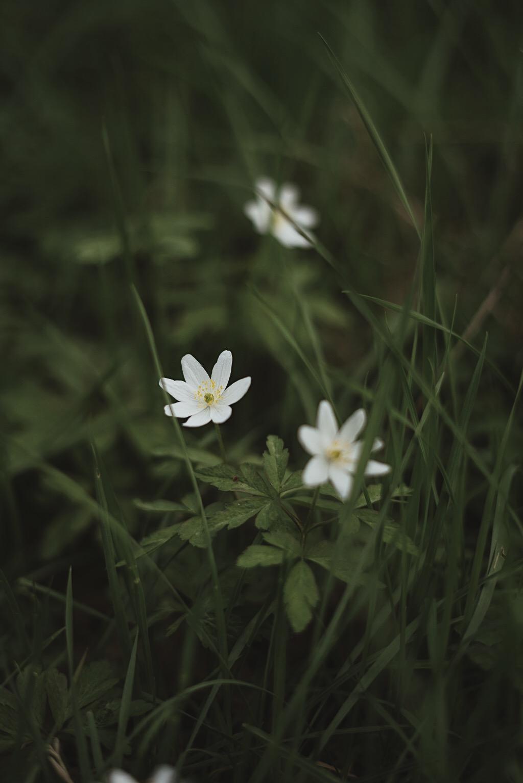 Tre små vitsippor i gräset